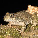 Foto van een mannetjes vroedmeesterpad met eitjes; photo of a male midwife toad with eggs (spawn)